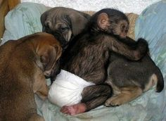 After a  mother  chimpanzee who lived in a zoo died, one  of the zoo's   employees took the baby chimp home to care for  it. It  never  crossed his mind that his dog, who had recently   given birth, would  adopt the chimp and raise it with  her pups.   Judging by  the look on her face at  times, she is not quite  sure why this  particular  offspring has hands to grab her  with.   Now that   portrays unconditional love.  Something to  think  about !