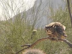 great horned owl taking off - Google Search