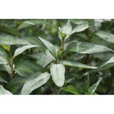 En vækstvillig pileurt, der stammer fra Asien. Planten er flerårig, men dyrkes som enårig, og den bliver 50 cm høj. Friske blade og skudspidser dufter som koriander, og i Asien bruges den især til suppe og sammenkogte retter, men den kan selvfølgelig bruges til alt, hvor man ellers ville bruge korianderblade. Den tåler at koge lidt med i den varme ret, og den har en kraftig koriandereffekt.