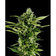 Buy Green House Seed Co Auto-Bomb Feminised Seeds From Freedom Seeds, The UK's best up and coming Seed Stockist. Free Seeds With Every Order, Secure, Discreet Shipping in UK and Europe On Green House Seed Co Auto-Bomb Feminised Seeds. Marijuana Plants, Cannabis Plant, Cannabis Oil, Smoke Weed, Autoflowering Seeds, Seeds Online, Cbd Oil For Sale, Buy Weed Online, Hemp Oil