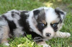 Loki :) the mini Australian shepherd