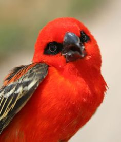 The Red Fody (Foudia madagascariensis), sometimes known as the Red Cardinal Fody or Common Fody, is a small bird native to Madagascar.