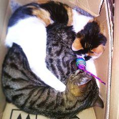 #loveydovey #unboxing  I find out my #cats sleeping in the box today  Cuteness overload . I just wanted to share this sweetness with you guys! Have a nice weekend  _____ #Koty postanowiły mnie dziś zaskoczyć. Tak sobie śpią słodziaki . Zapowiada się dobry weekend  _____  #catinthebox #mylife #catlady #catladylife #artistoninstagram #life #animallover #haveaniceweekend #love #lovely
