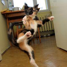 Kung fo kitten! http://www.vetschooldiary.com