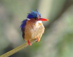 malachite kingfisher        (photo via)   birds of a feather