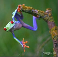 Colorful Tree Frogs by Angi Nelson                                                                                                                                                                                 Plus
