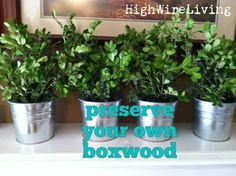 High Wire Living: preserving your own boxwood