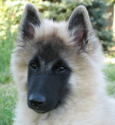 tervuren dog photo | ... Belgian Shepherds, Breeder, Tervuren, Groenendael, Collie, puppies
