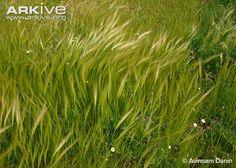 Dense stand of Mediterranean needle grass