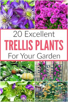 If youre wondering what plants grow on a trellis then this list of trellis plants is for you It covers everything from climbing flowers for sun or shade vining perennials. Climbing Flowers Trellis, Climbing Flowering Vines, Flower Trellis, Vine Trellis, Climbing Vines, Garden Trellis, Garden Plants, Trellis Fence, Climbing Shade Plants