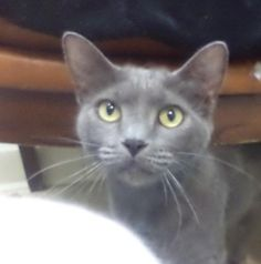 Lili is an adoptable Domestic Short Hair-Gray Cat in Pekin, IL Hi there, I'm Liliand I am here at the shelter with my sister Daphne!! We are 6 ... ...Read more about me on @Petfinder.com.com