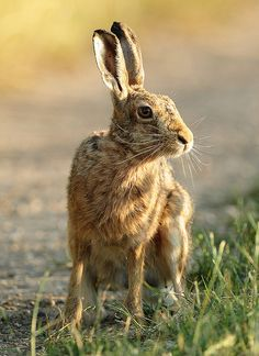 Brown Hare side look Lepus europaeus - Mike Rae Animals And Pets, Cute Animals, Wild Animals, Rabbit Photos, Into The Fire, Animal Crackers, Animal Kingdom, Animals Beautiful, Pet Birds