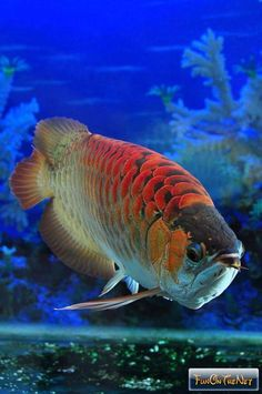 The Red Dragon fish, also known as Arowana, is considered a good luck charm, in Chinese culture, and sells for unbelievably high prices. The Arowana is an Underwater Creatures, Underwater Life, Ocean Creatures, Dragon Fish, Red Dragon, Colorful Fish, Tropical Fish, Beautiful Fish, Animals Beautiful