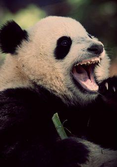 panda qui a sommeil