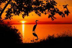 Great Blue Heron at Sunset, Lake Michigan. Beautiful!