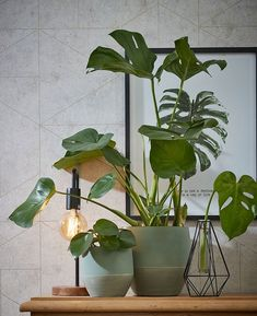 Monstera-plant-groen-wonen-botanisch-industrieel-interieur-planten-in-huis-interieur-stoere-plant-gatenplant- Hanging Plants, Indoor Plants, Plant Shed, Plant Aesthetic, Project, Interior Plants, Green Rooms, Decorating Small Spaces, My Room