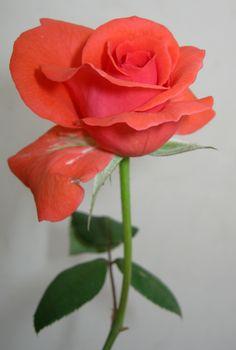 Rose by Navin Singhwane on 500px