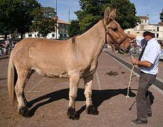 unknown mule (Poitou x Poitevin)
