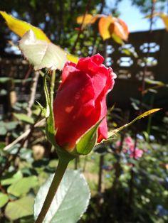 Boton rosa