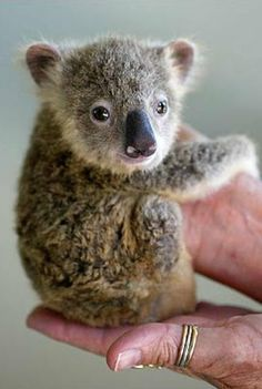 Baby Koala! I've never seen one before and its fricking a million times more than i would have expected.