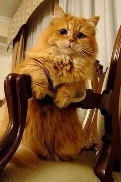 Orange cat, love the face. I Love Cats, Big Cats, Crazy Cats, Cool Cats, Hate Cats, Pretty Cats, Beautiful Cats, Animals Beautiful, Cute Animals