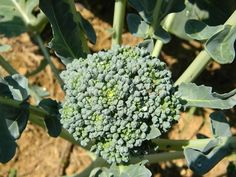 This is a great tasting short and non-uniform variety of broccoli. It grows medium to large heads. This variety seems to favor colder climate growing condition. It is one the most popular varieties av