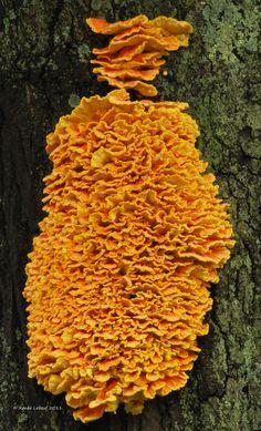 Fungus Laetiporus sulphureus - the most amazing display of this delicious edible fungi Edible Mushrooms, Wild Mushrooms, Stuffed Mushrooms, Chicken Of The Woods, Mushroom Pictures, Slime Mould, Plant Fungus, Mushroom Hunting, Mushroom Fungi