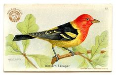 Free Vintage Clip Art - 3 More Bird Advertising Cards - The Graphics Fairy