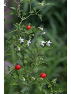 If u run into these Capsicum annuum (Chile pequin) plant, you're in luck. Measures Scoville (between cayenne pepper & habanero pepper). In the RGV, the chile plant grows seldom in yards without notice or planting. It is used in many salsas. Gardening For Beginners, Gardening Tips, Chilli Plant, Capsicum Annuum, Rio Grande Valley, Painted Clay Pots, Seed Bank, Native Plants, Houseplants