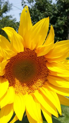 10-12foot sunflower. Still in it's early stage of growth.  From my personal garden.