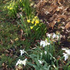 Vintergækkerne har stået i blomst længe - nu er de småpåskeliljers tur til at pryde haven og en fryd for øjet. 22. Marts