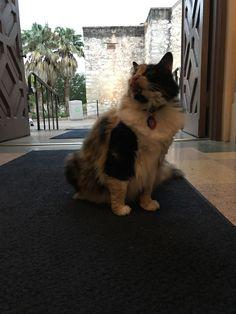 Meet Miss Isabella Francisca Veramendi de Valero The Alamo's official Cat