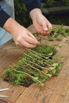 Moos als Kinderstube: Wer viele Stecklinge auf einmal will, kann sie in Moss bewurzeln lassen, das in fast jedem Rasen irgendwo vorhanden…