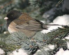 Winter Bird Photo Gallery: Dark-Eyed Junco