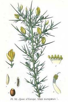 GORSE. Aulaga (Ulex europaeus) Flores de BACH.  Desesperado. Sin ninguna esperanza. Siente que ya no hay nada que pueda hacer. GRUPO: Para los que sienten incertidumbre.