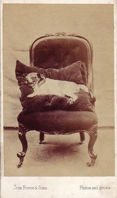 victorian-post-mortem-photography-dogs-terrier-cushion-chair-taphophilia