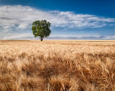 The Valensole region in Provence may be famous for its lavender, but it also grows wheat and sunflowers. This photo was taken earlay morning in a golden field of wheat, with the sol tree serving as a counterpoint.