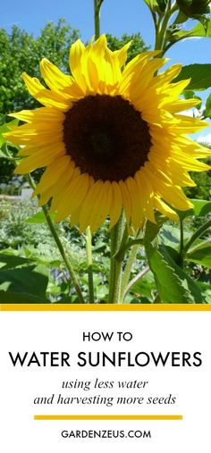 How to water sunflowers using less water and harvesting more seeds #sunflowers #sunflowerseeds #watering #gardening
