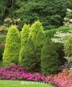 Dwarf Trees for Landscaping   Alberta Spruce