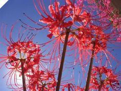 Lycoris Radiata - RED SPIDER LILY - summer dormat - surprise lily - winter leaves