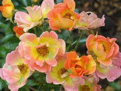 Rose EUPHORIA (Intereup) - Ground cover rose, mild fragrance