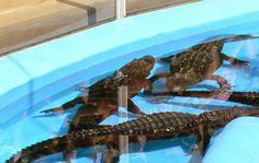 JORNAL O RESUMO - PARÁBOLAS PARA COMPARTILHAR - REFLEXÃO DO DIA: Parábola : A piscina com crocodilos