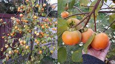 Pani Anna sa teší z bohatej úrody hurmikaki. Anna, Vegetables, Garden, Garten, Vegetable Recipes, Lawn And Garden, Outdoor, Tuin, Gardens