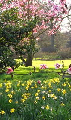 Magnolia Trees and Daffodils at Kew Gardens Looking towards the Azalea Garden, w. - Magnolia Trees and Daffodils at Kew Gardens Looking towards the Azalea Garden, which will also be l - Beautiful Landscapes, Beautiful Gardens, Beautiful Flowers, Amazing Gardens, Gorgeous Gorgeous, Beautiful Park, Beautiful Images, Magnolia Trees, Magnolia Gardens