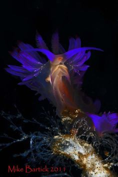 mad-as-a-marine-biologist:    Glow in the dark nudibranch  byMike Bartick