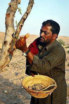 Man gathering Frankincense