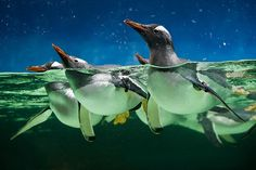 razorbladesalvations:    Gentoo Penguins by Connis and Arthur