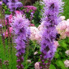 Mooie stevige planten voor in de border, vooral in grote groepen komen ze tot hun recht. Merkwaardig is dat de bloei bovenaan de… Bloom, Flowers, Plants, Garden Ideas, Fairy, Cottage, Cottages, Plant, Landscaping Ideas