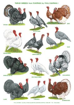 A4 Laminated Posters. Breeds of Turkey by PaulChapmanFineArt
