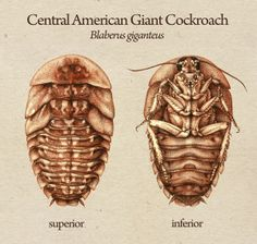 Central American Giant Cockroach Rendering by Katy Wiedemann, via Behance - Drawing, Exhibition Design, Illustration